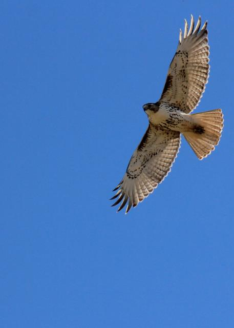 Overhead Raptor