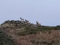 Tule Elk are plentiful along Tomales Point Trail