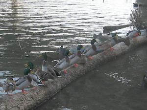 Mallards along the riverwalk.