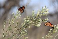 Monarchs Enjoying the Bee Brush