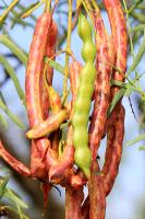 Changing Colors of the Mesquite Bean Pod