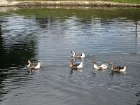 Ducks and Geese Abound