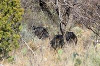 Three Little Javalinas