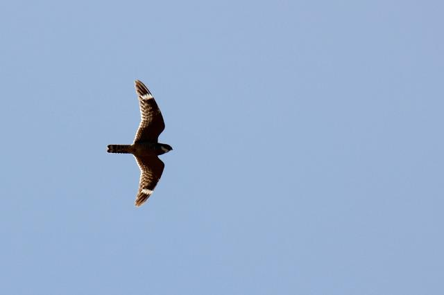 Nighthawk hunting during the day