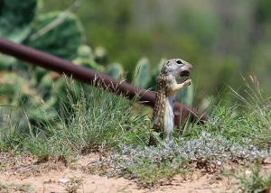 Mexican Ground Squirrel Eating