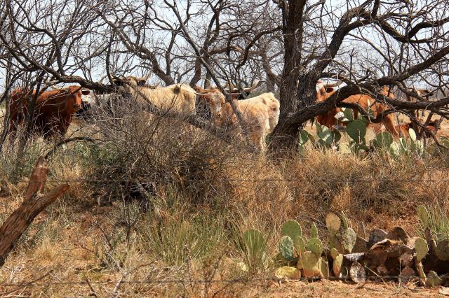Resident Longhorns at the Park