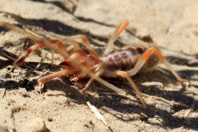 Sun Spider or Wind Scorpion - Solpugid