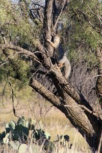 Tree'd Grey Fox