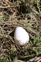 House Finch Egg