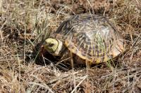 Red Eyed Turtle