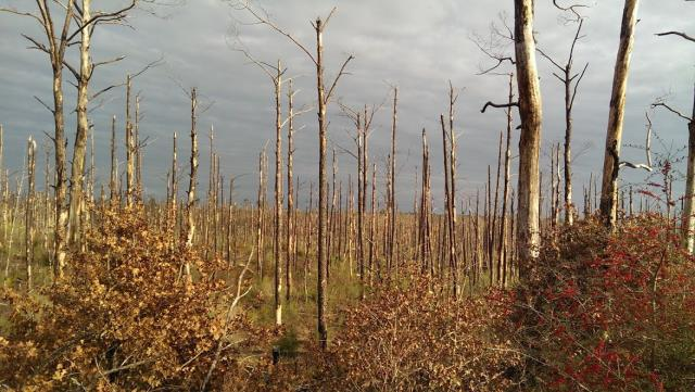 A forest of dead trees on the Purple Trail
