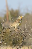 Just a Meadowlark