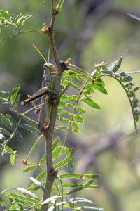 Grasshoppers A Plenty!