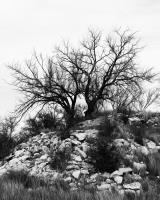 Tree at Red Dam