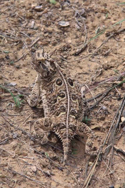 Horned Toad on the Trail