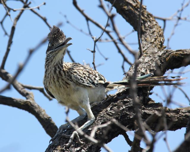 An Inquisitive Road Runner