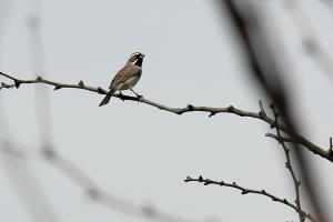 Black Throated Sparrow on the Trail