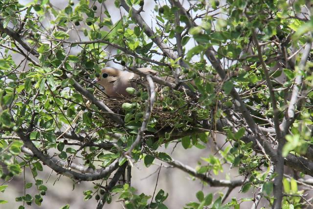 Mourning Dove on her Nest
