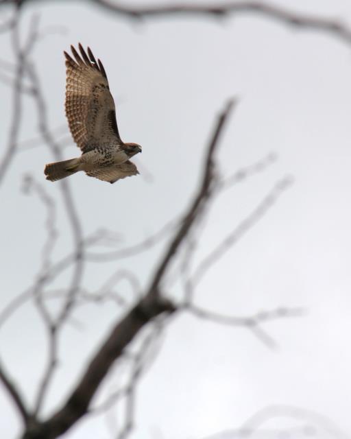 Hawk in the Air