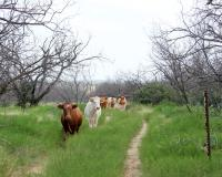 Longhorns at 5 Points Junction