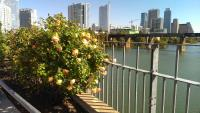 Nice landscaping on one of the pedestrian bridges, with a view of downtown