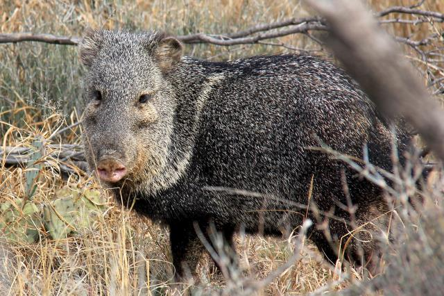 Javalina on Lanky Lackey