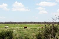 Park Longhorns near Burkett Trail