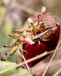 A Feast for Grasshoppers!