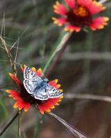 A small butterfly resting on an Indian Blanket