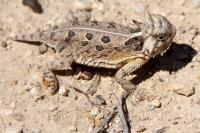 Small Horned Toad