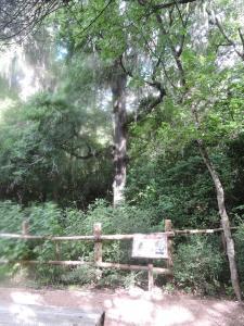 big elm tree ,