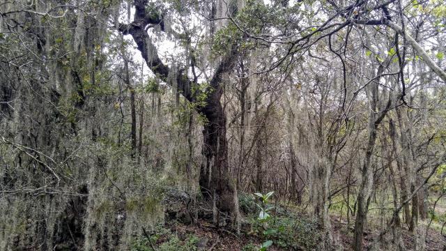 Surprisingly abundant populations of Spanish moss