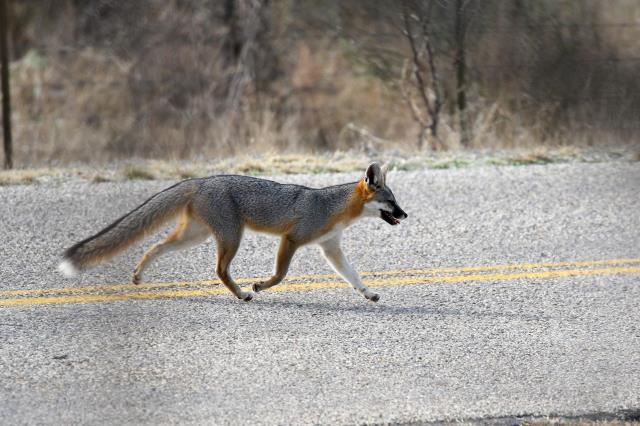 A Nice Grey Fox!