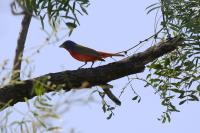 Another Painted Bunting