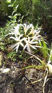 White Lycoris