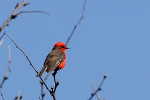 Male Vermillion Flycatcher