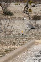 Great Blue Hunting on Land