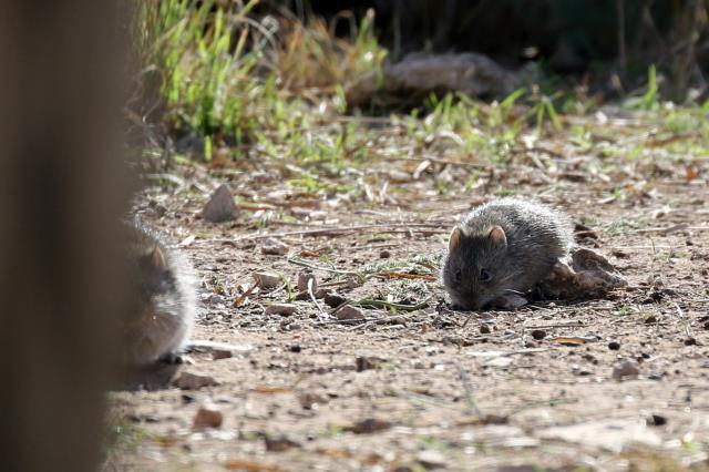 Rats!!