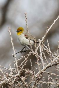 1st Verdin seen in a LONG Time!