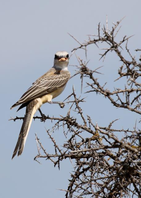 A Juvenile Scissortail Flycatcher.