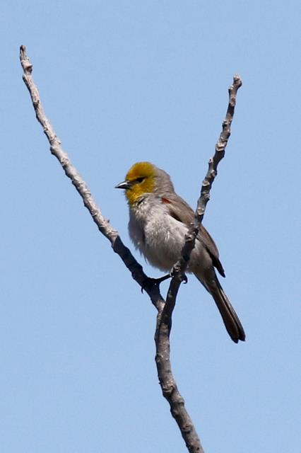 Another Verdin