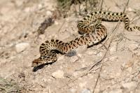 Sonoran Gopher Snake