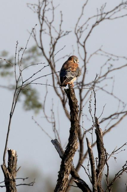 Kestrel at a Distance