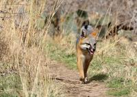 Look Closely at the Left Rear for the Second Fox