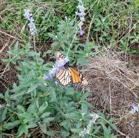 Monarch on mealy blue sage