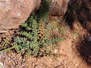 Nifty fern