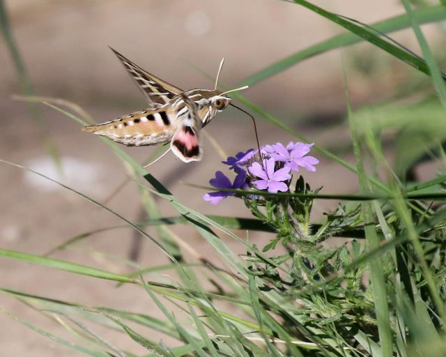 First Hummingbird Moth This Year!