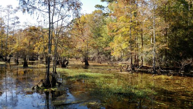 Baldcypress swamp