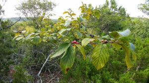Carolina Buckthorn on Edge of Bluff