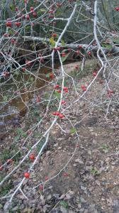possumhaw by the creek
